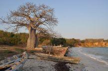 baobab 8